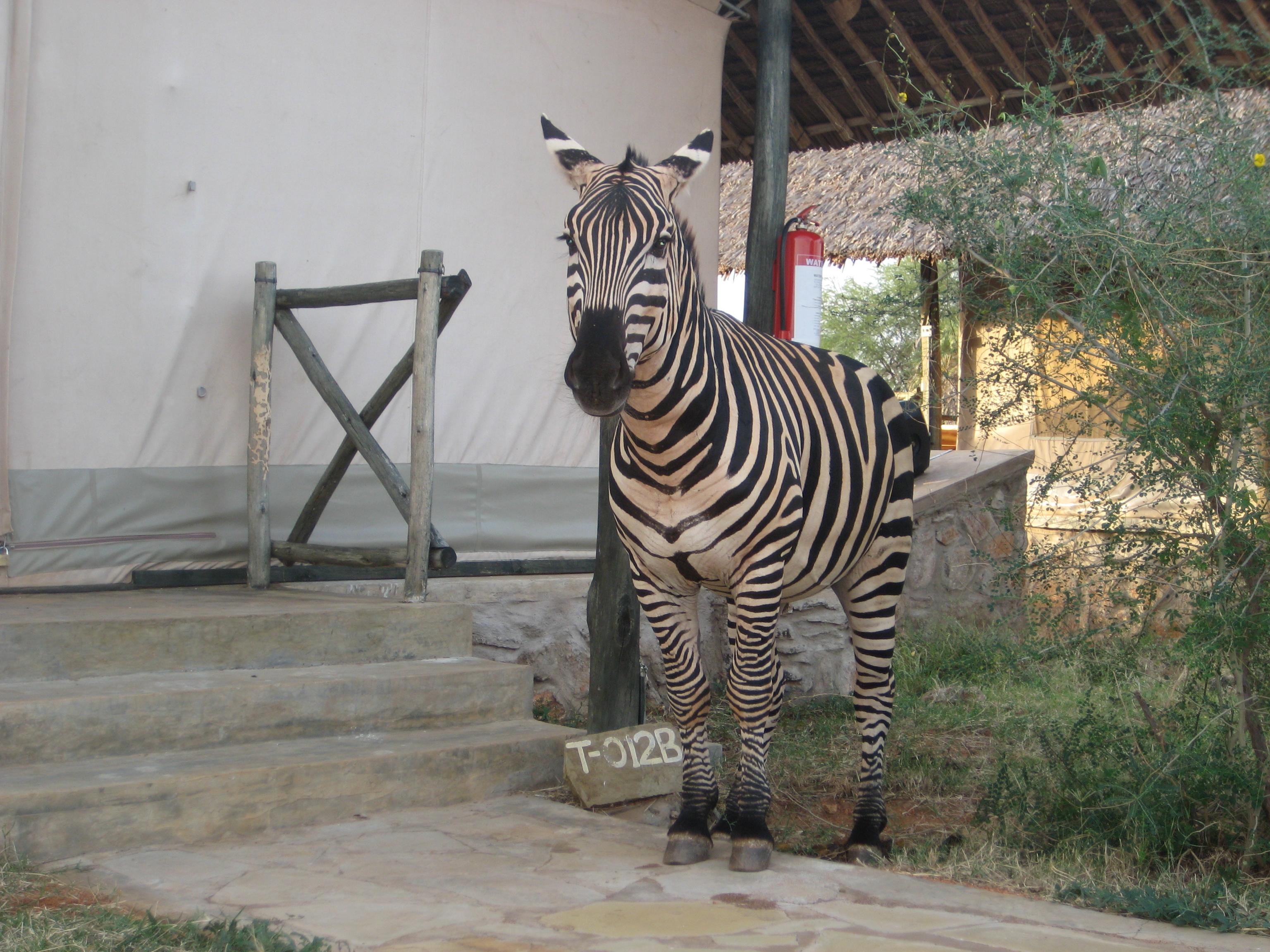 Man Eater Zebra