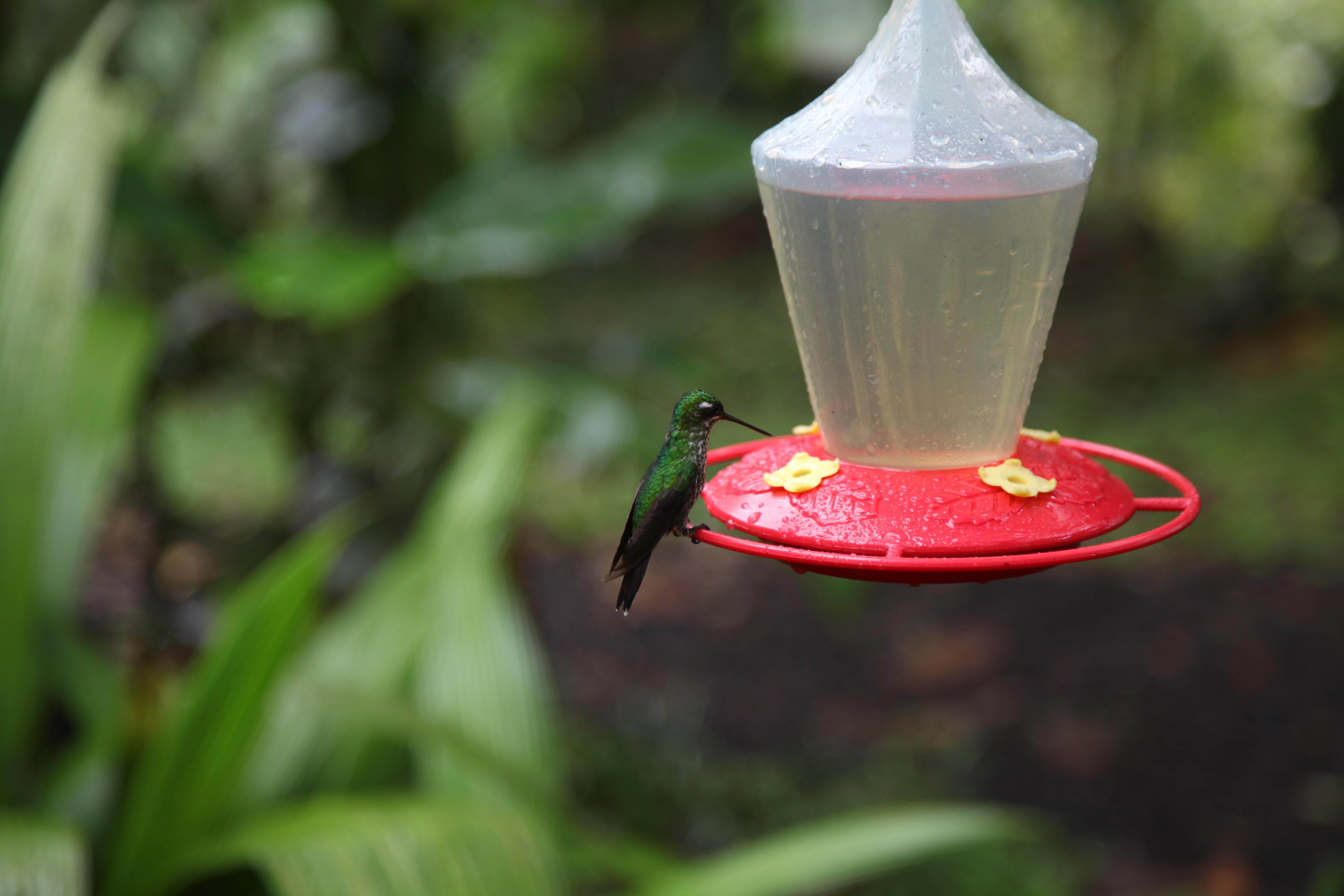 Mashpi Hummingbird